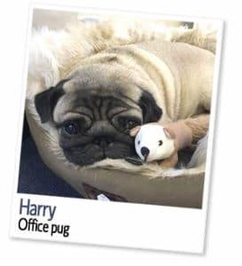 Harry, office pug at London Homestays