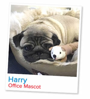 Harry, office pug at London Homestays